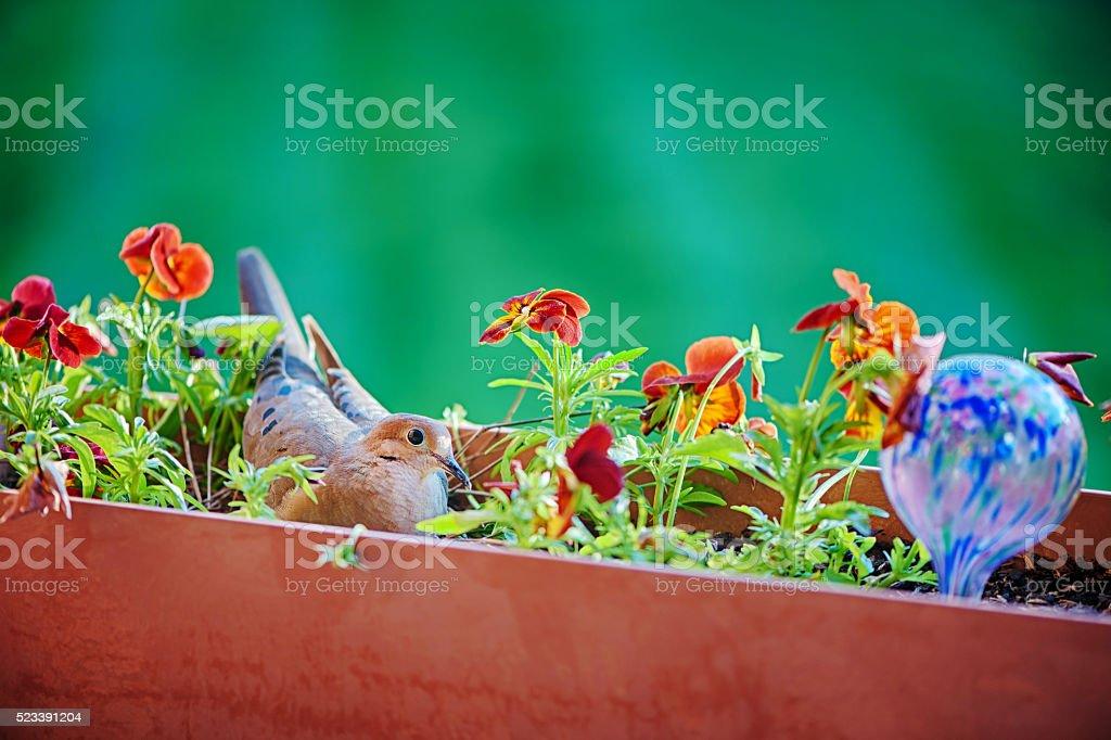 Nesting dove in flower bed stock photo
