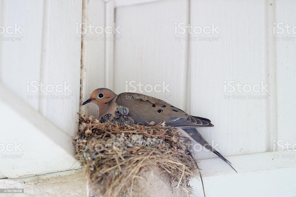 Nesting dove with baby chick bird stock photo