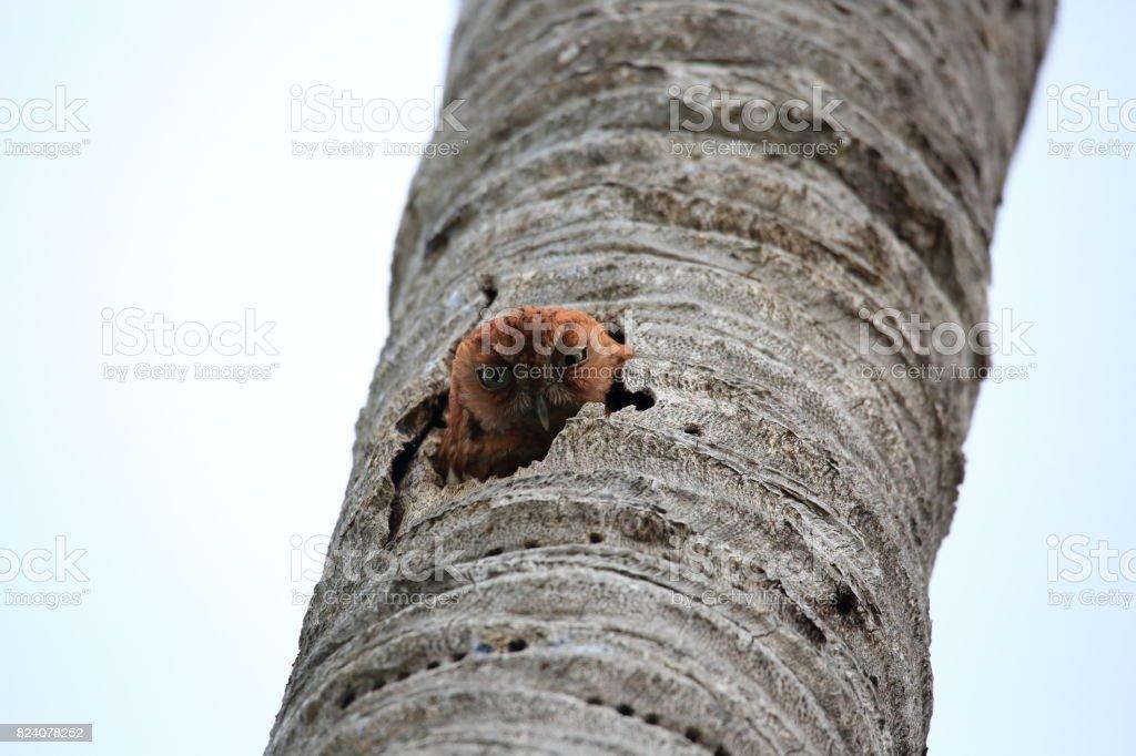 Nesting Eastern Screech Owl stock photo