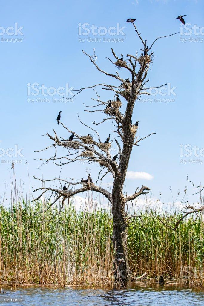 Nesting great cormorants on dried up tree stock photo