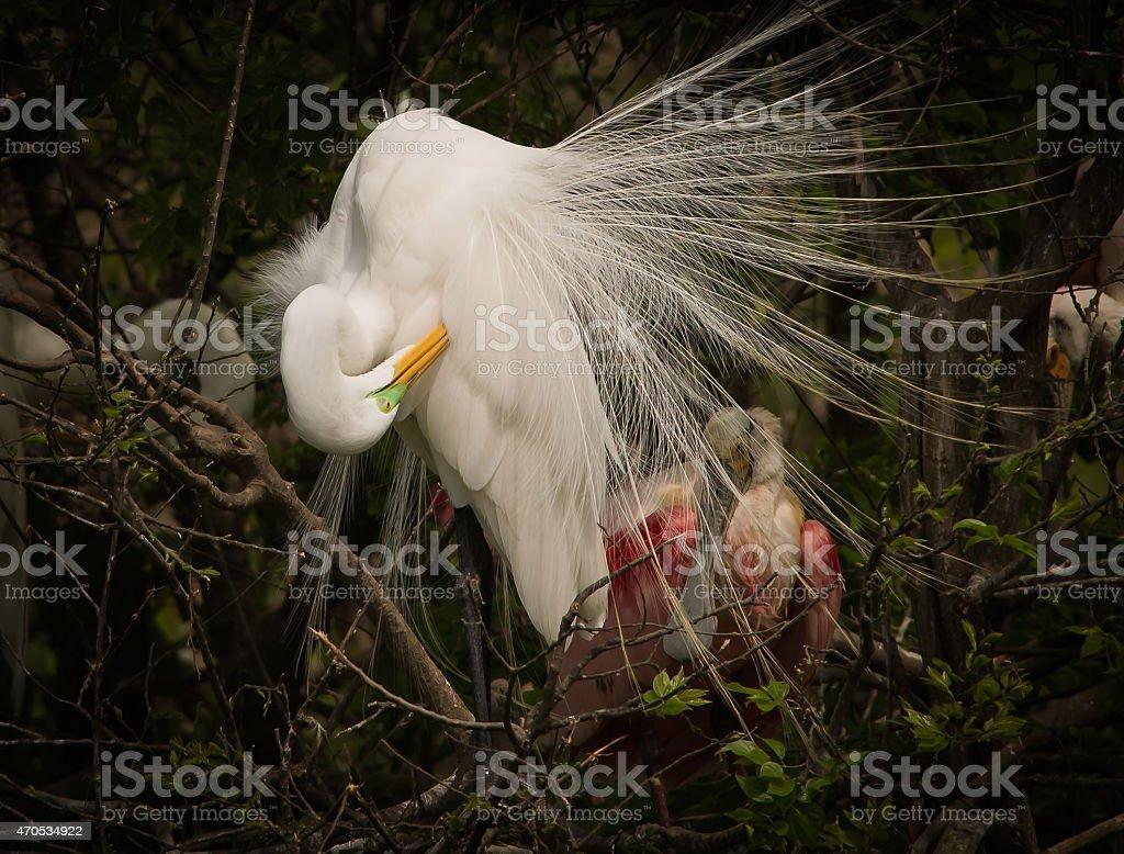 Nesting Great Egret stock photo