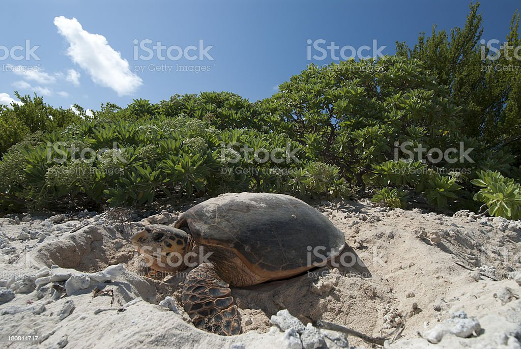 nesting hawksbill turtle stock photo