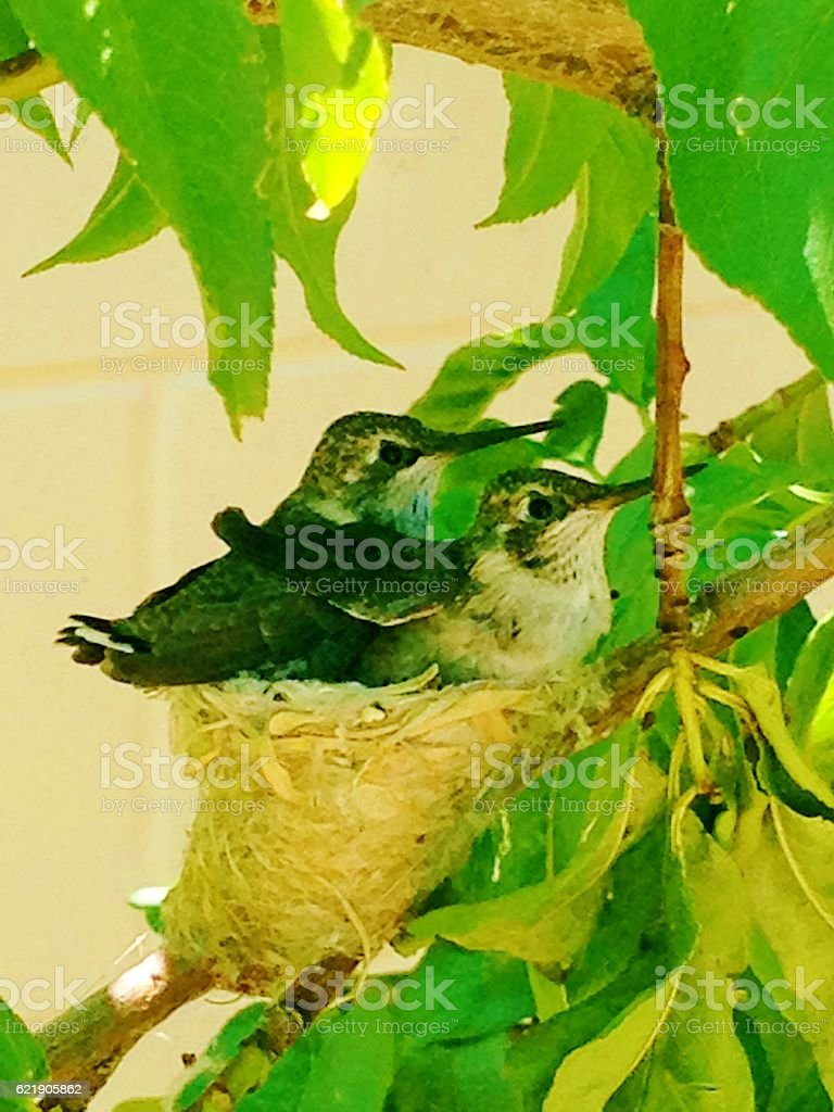 Nesting Hummingbirds stock photo