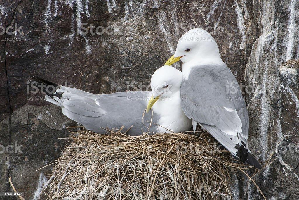 Nesting kittiwakes (Farne Islands, UK) royalty-free stock photo