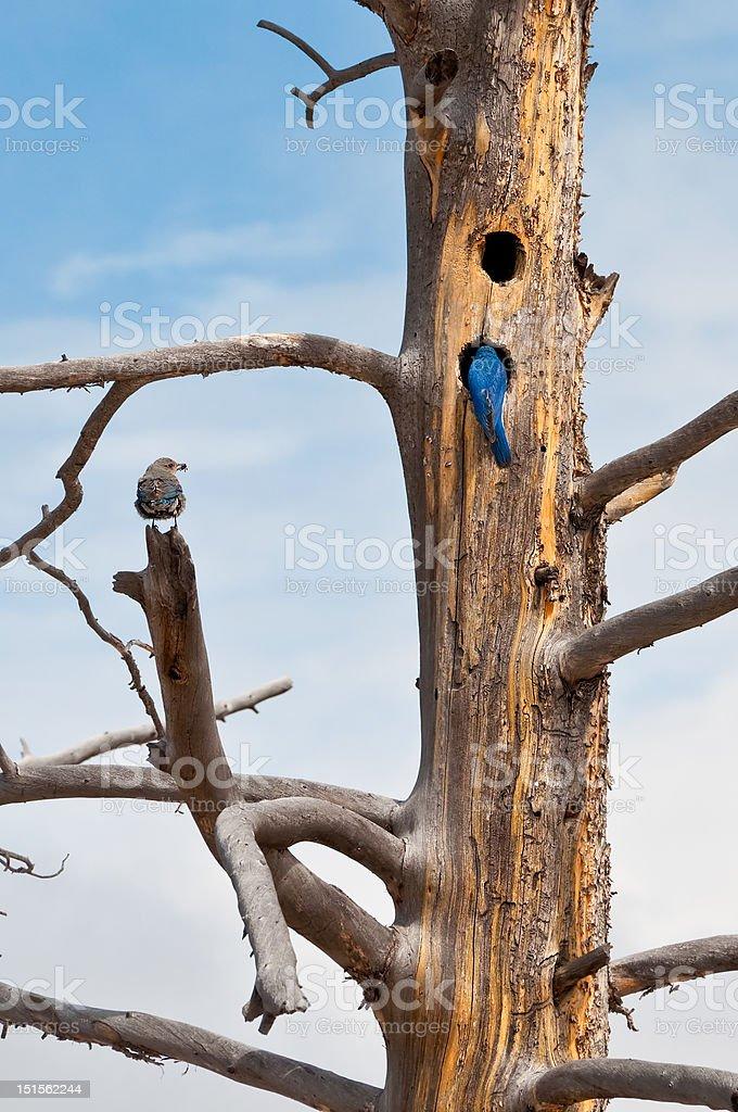 Nesting Mountain Bluebirds in Yellowstone stock photo
