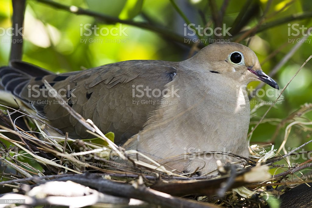 Nesting mourning dove royalty-free stock photo