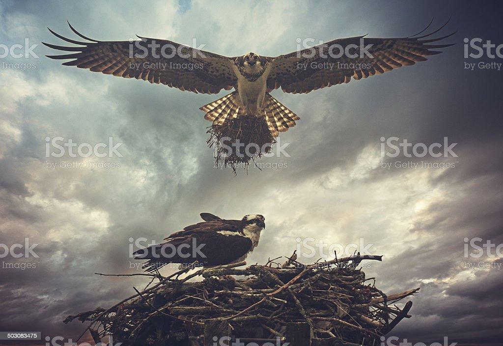 Nesting Osprey stock photo