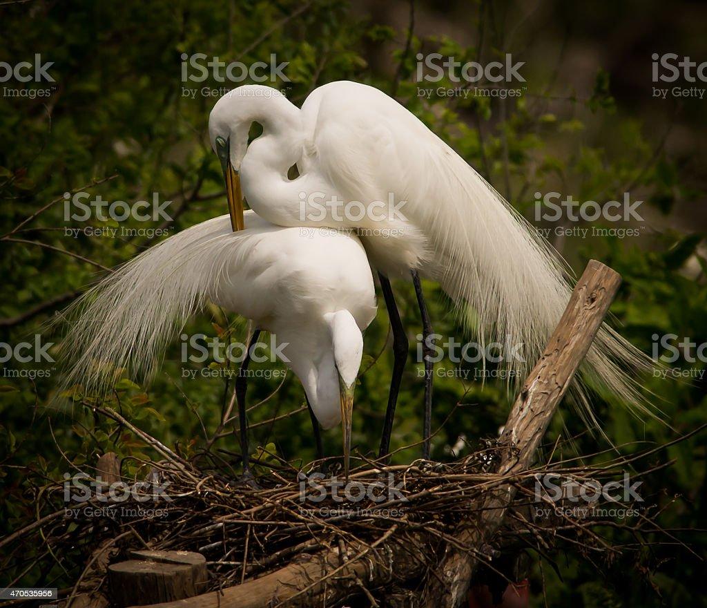 Nesting Pair of Great Egrets stock photo