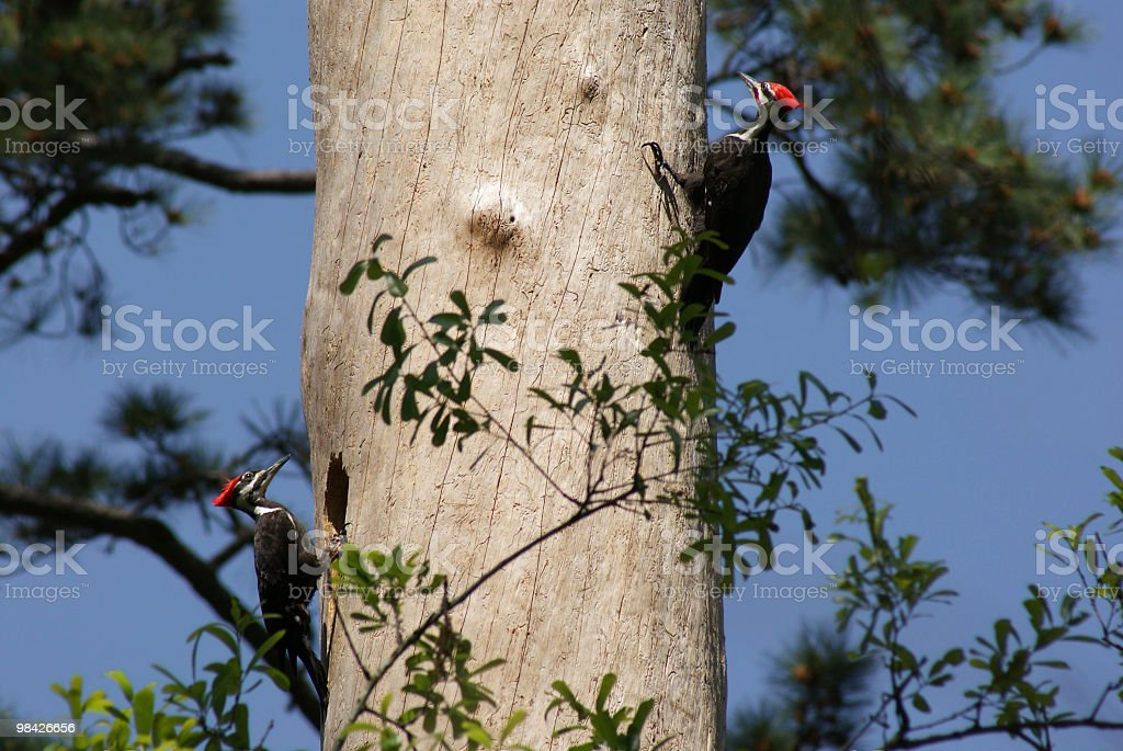 Nesting pair of Pileated Woodpeckers stock photo
