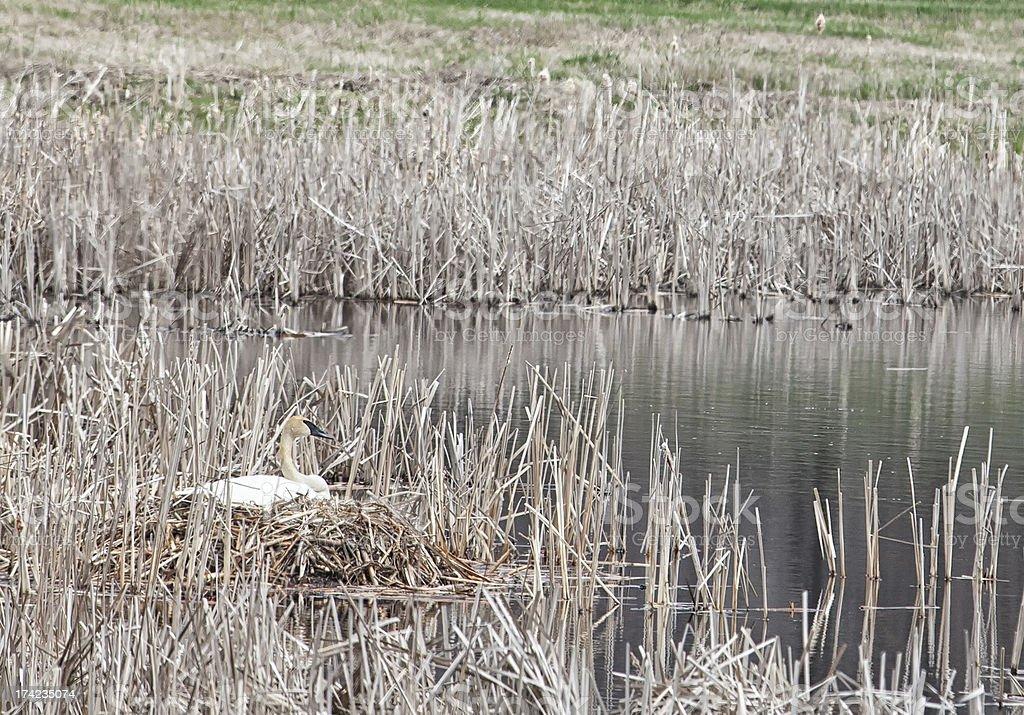 Nesting trumpeter swan royalty-free stock photo