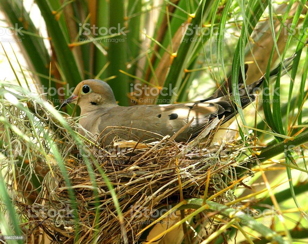 Nesting Turtle Dove stock photo