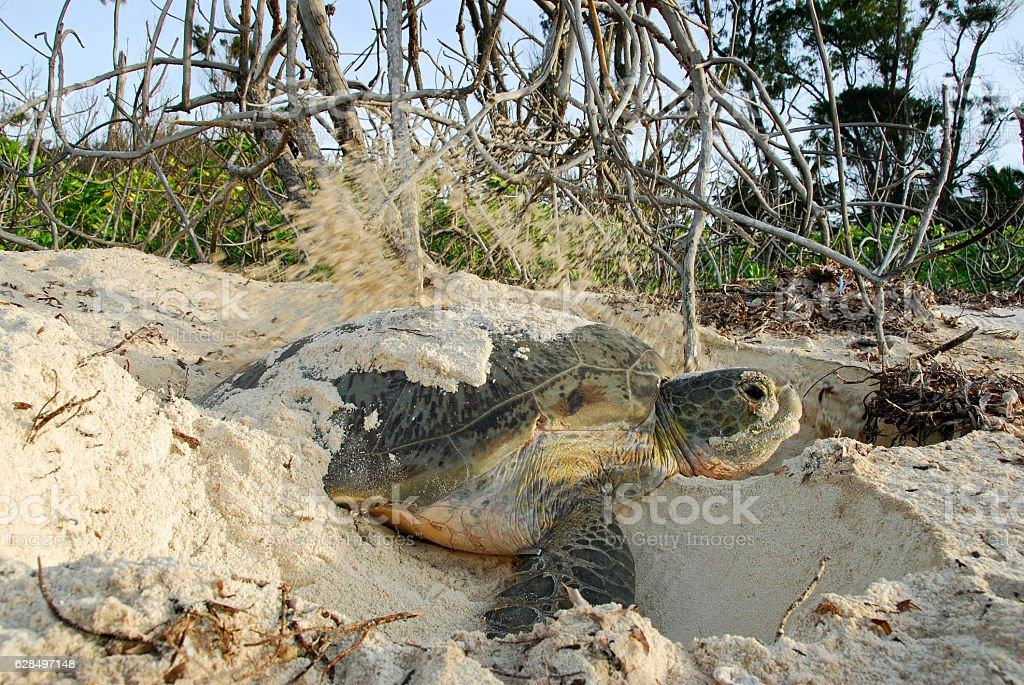 nesting turtle on beach stock photo