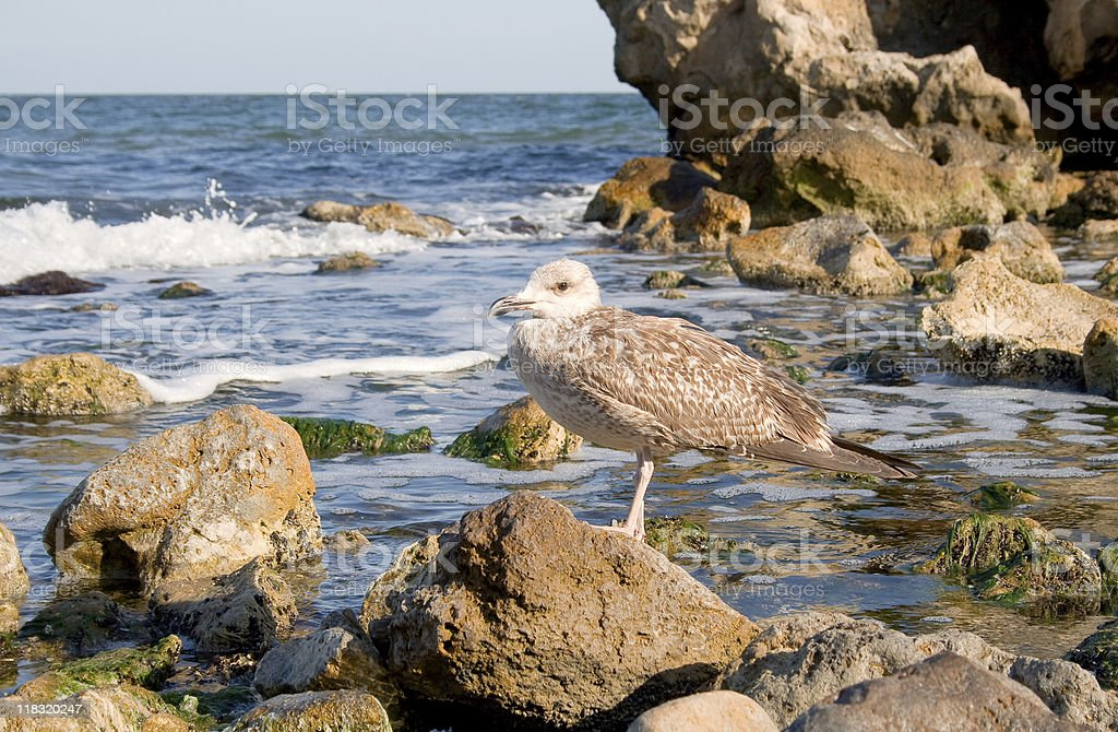 Nestling of silvery seagull. royalty-free stock photo
