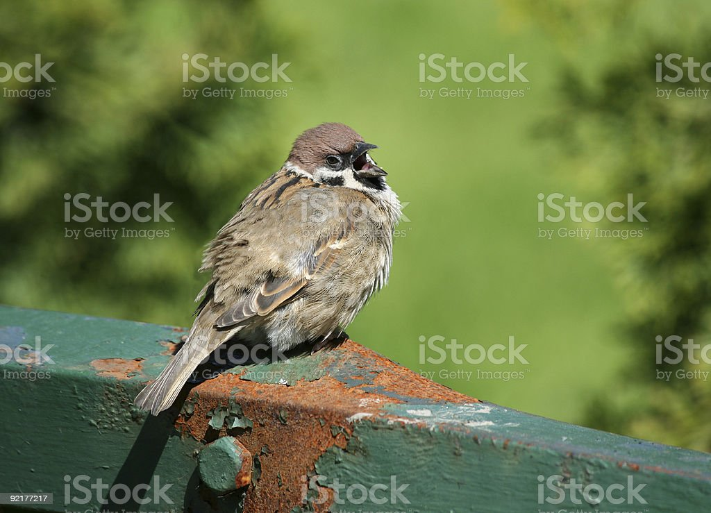 Nestling sitting on a fence screaming royalty-free stock photo