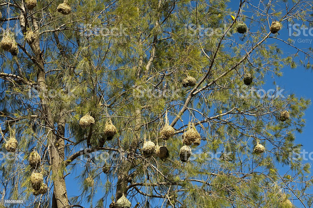 Nests of the Cape weaver birds royalty-free stock photo