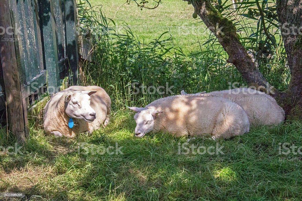 Netherlands: Sheep in Marken stock photo
