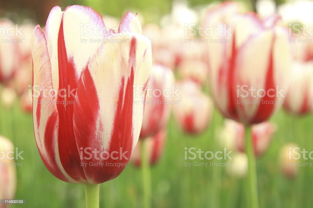 Netherlands  tulip bloom in the sun royalty-free stock photo