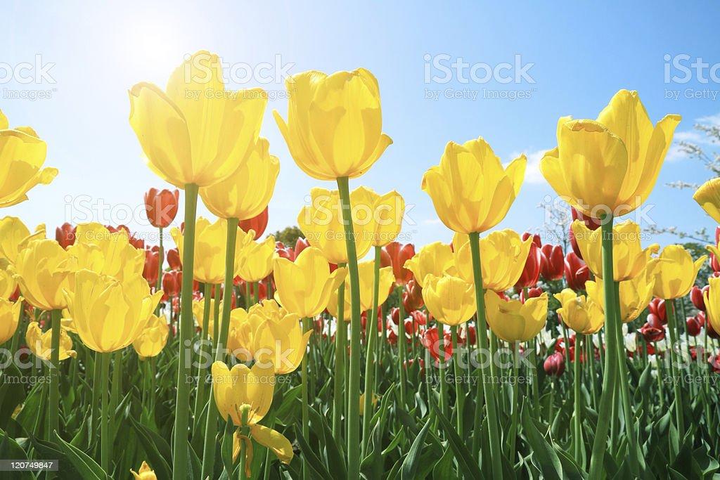 Netherlands tulip bloom in the sun stock photo