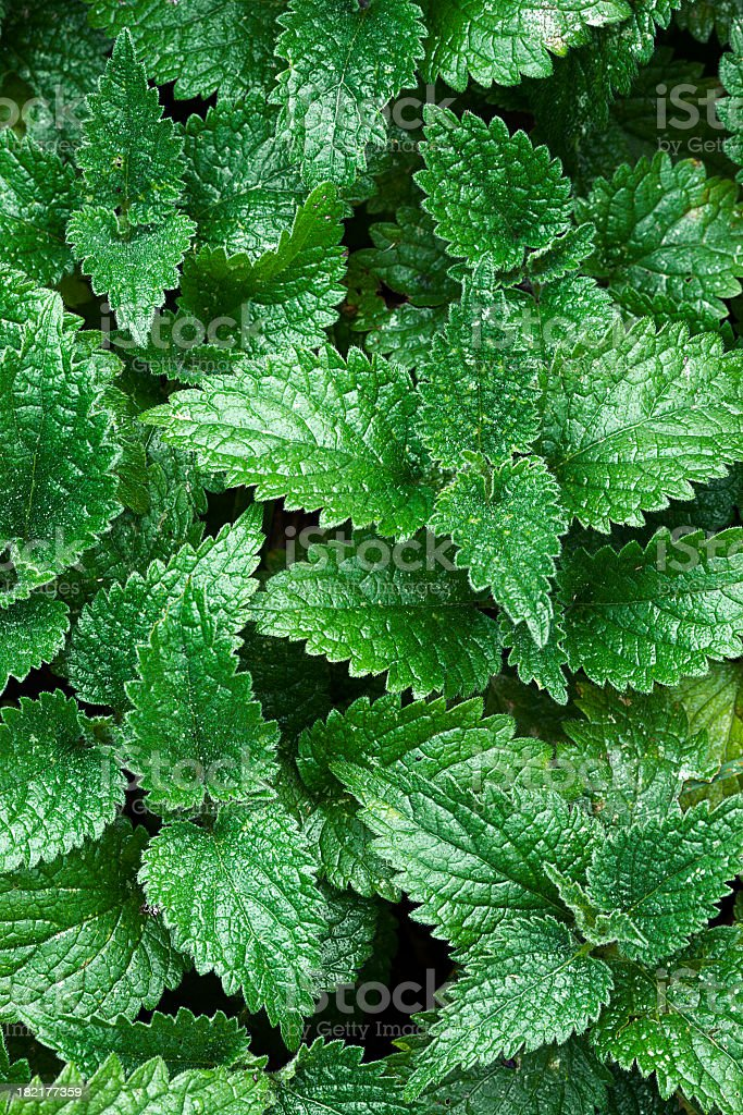 nettle background stock photo