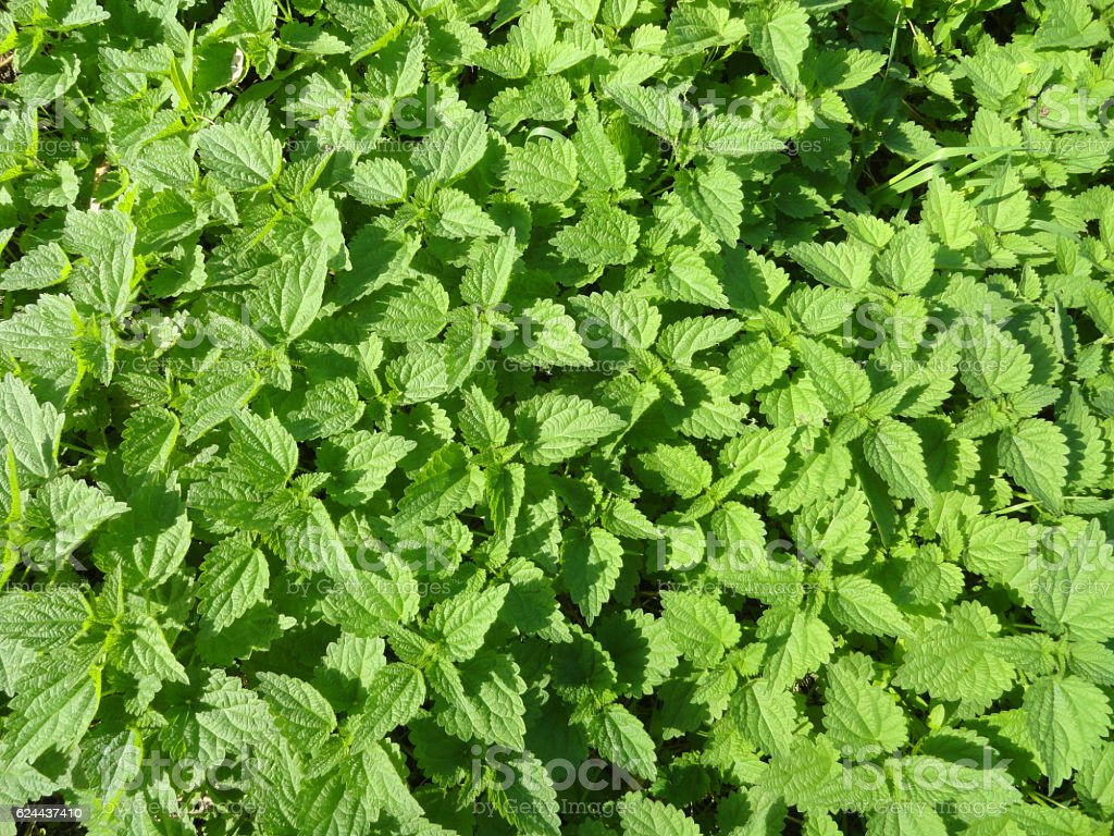 Nettle close up stock photo