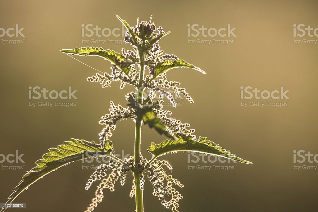 Nettle in the backlight royalty-free stock photo