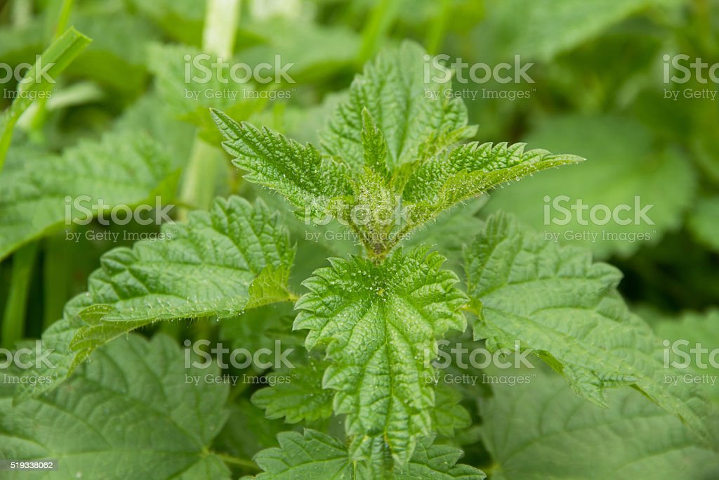 Nettle Leaves - Hojas de Ortiga stock photo