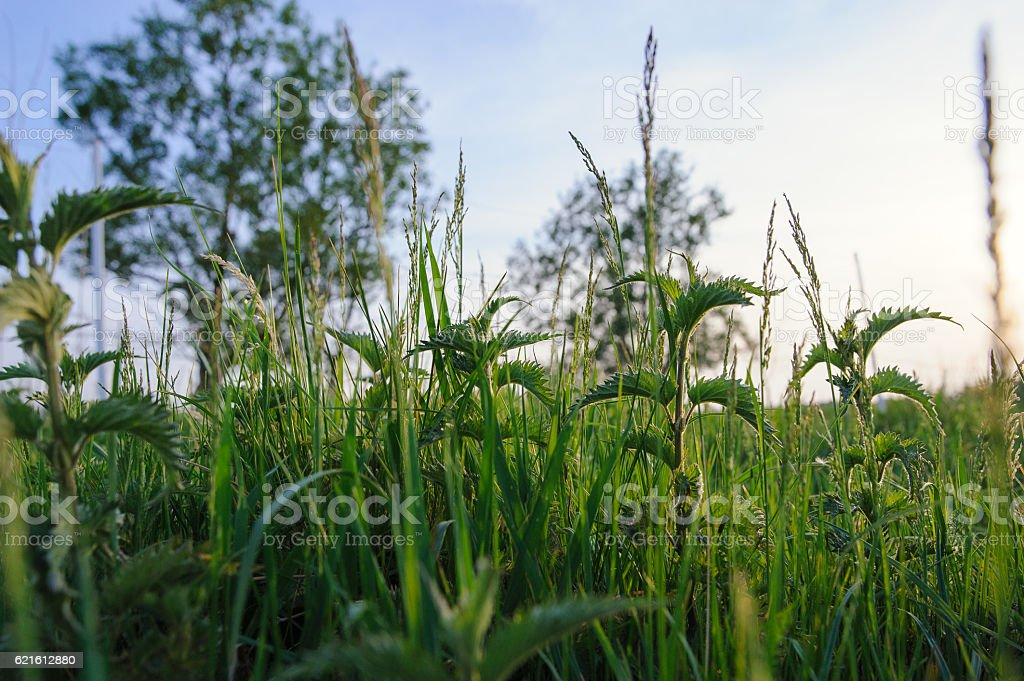 Nettle plant in field. stock photo