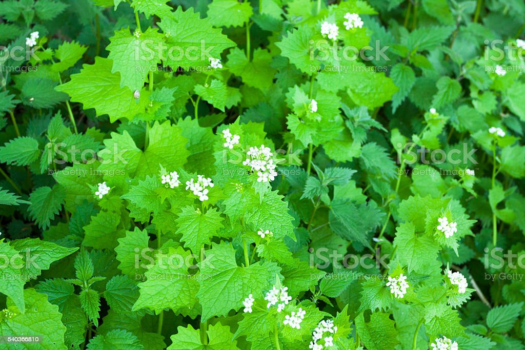 Nettle plants with blossom stock photo