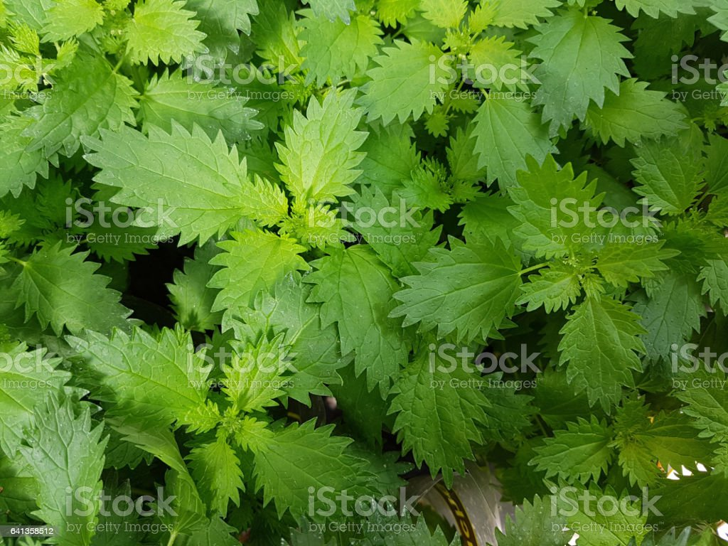 Nettle; Urtica, dioica stock photo