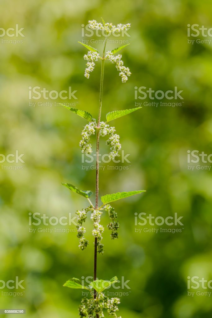 Nettle with White Flowers stock photo