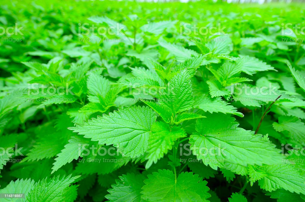 Nettles stock photo