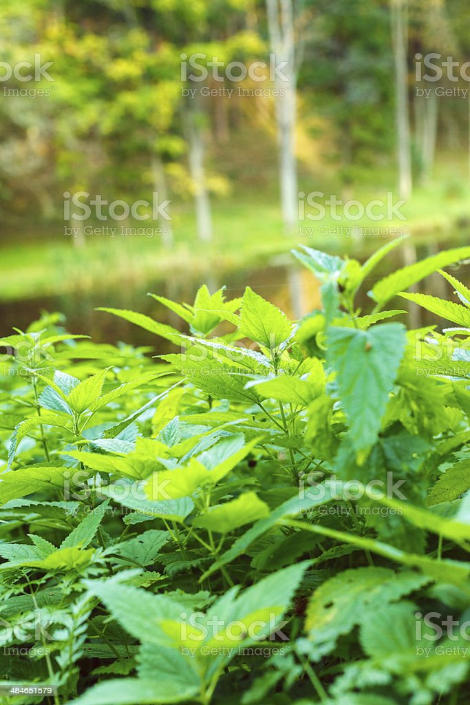 Nettles royalty-free stock photo