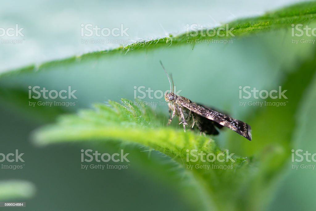 Nettle-tap micro moth (Anthophila fabriciana) on foodplant stock photo