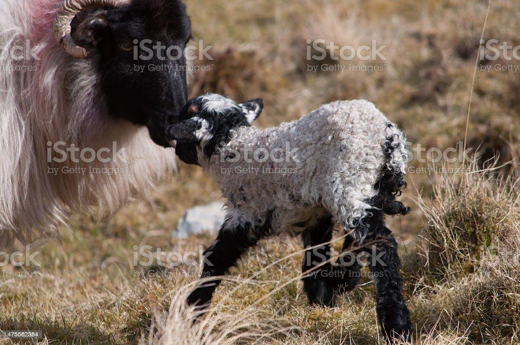 Neugeborenes Lamm mit Schaf royalty-free stock photo