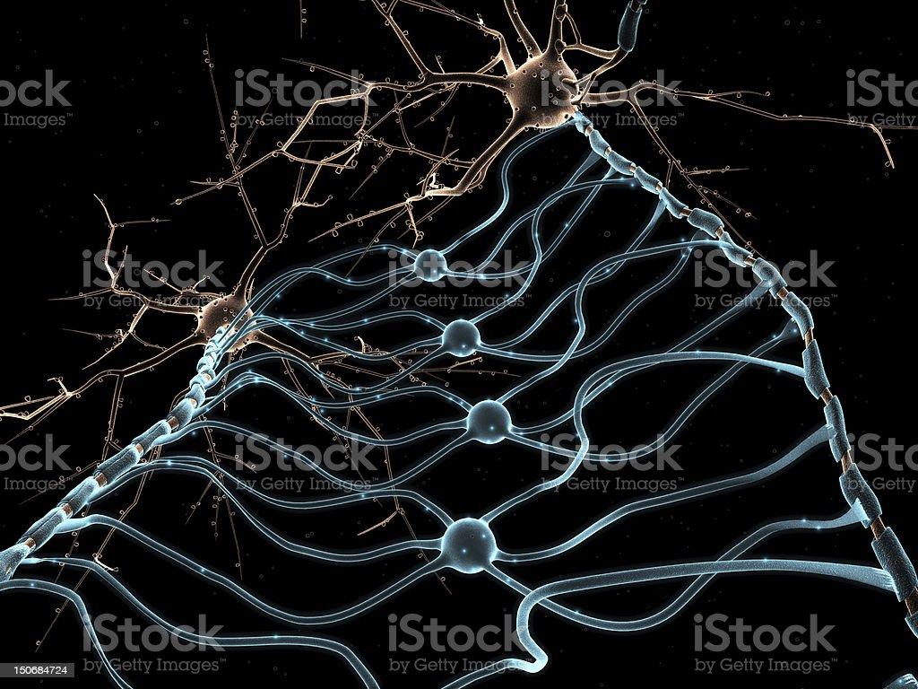 Neuron Oligodendrocytes stock photo