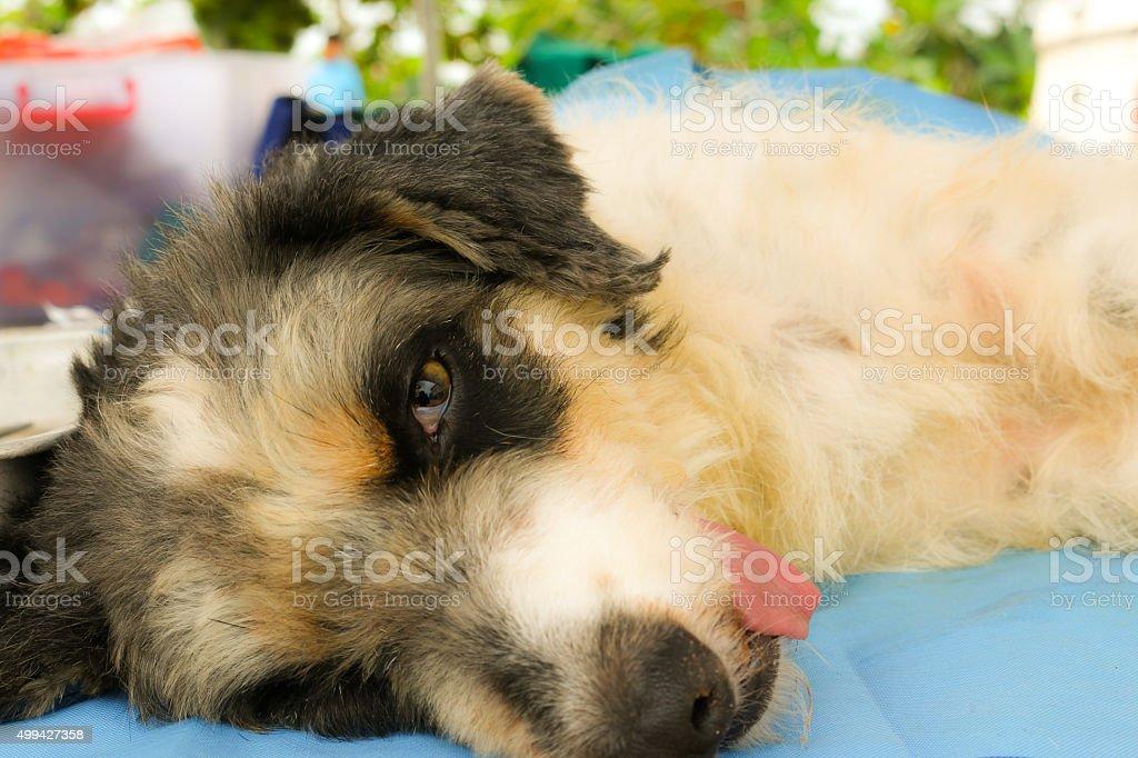 neutering dogs stock photo