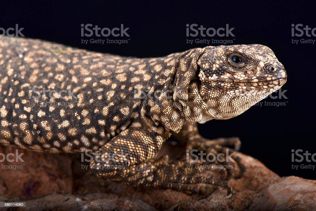 Nevado mountain lizard (Phymaturus nevadoi) stock photo