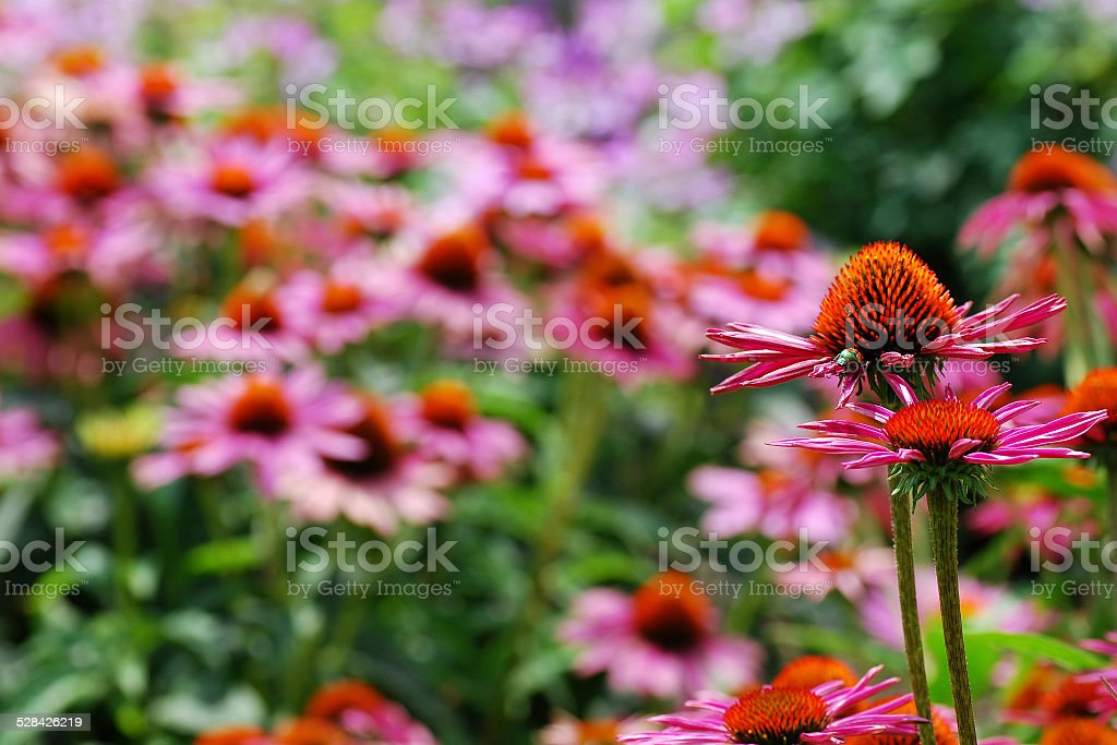 Never Ending Field of Pink and Orange Echinacea stock photo