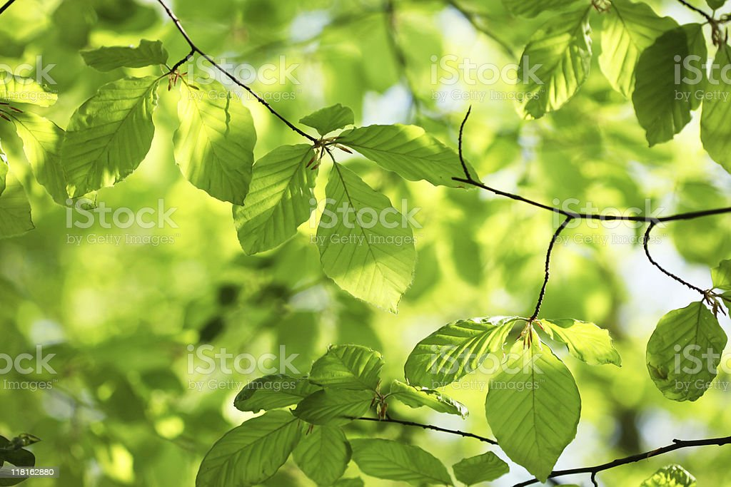 New beech leaves in spring royalty-free stock photo