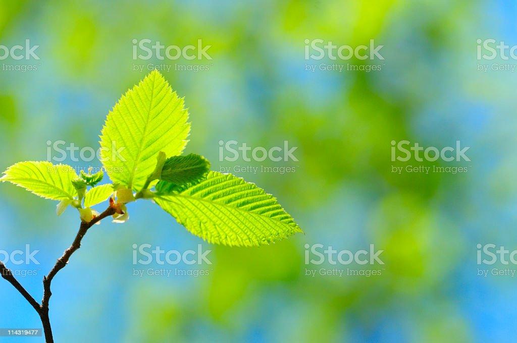 New Beech Leaves royalty-free stock photo