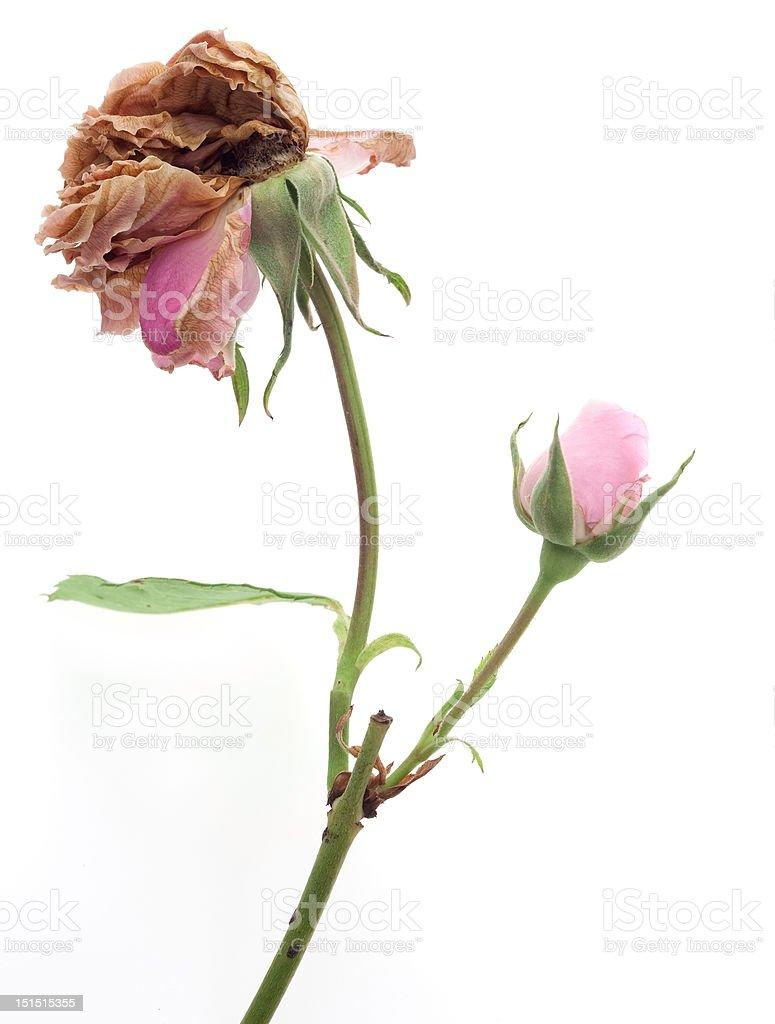 new beggining, aged rose stock photo