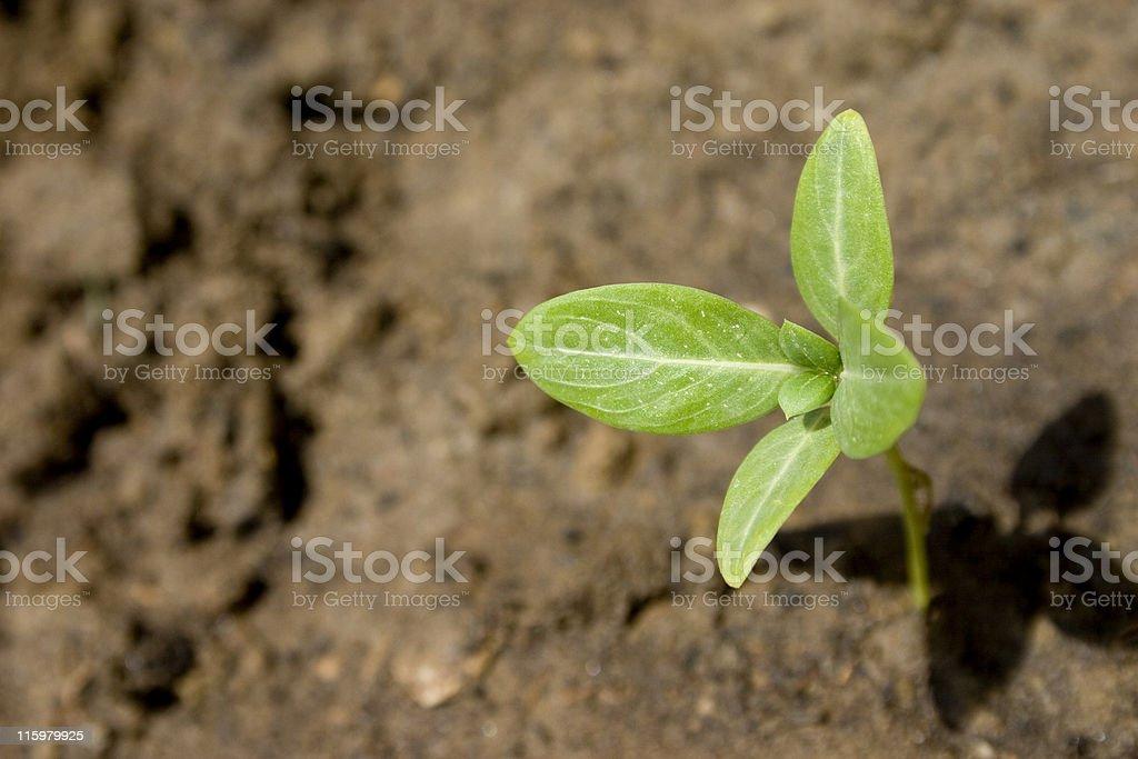 New Beginning seedling sapling soil plant growth royalty-free stock photo