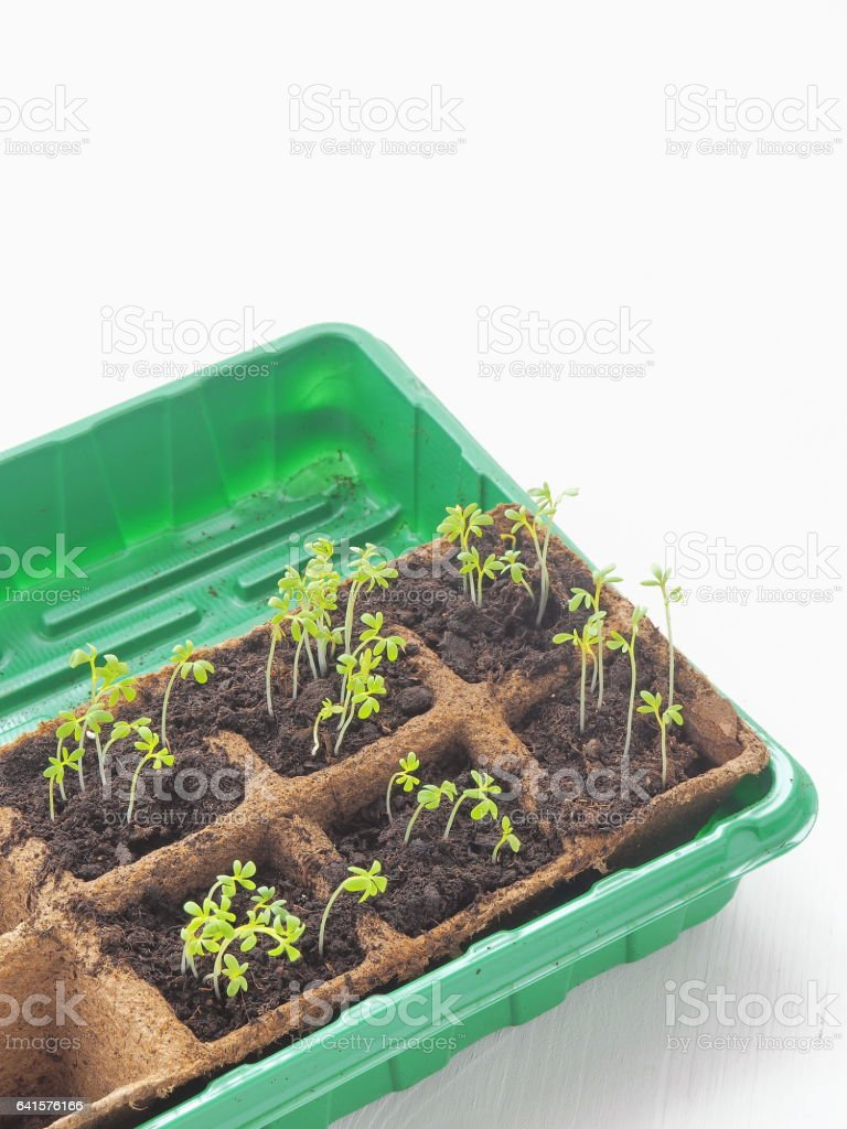 New beginning spring sprouts in soil. Green salad seedling. stock photo