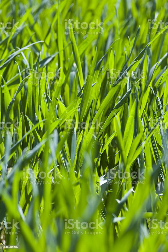 New blades of fresh green grass stock photo