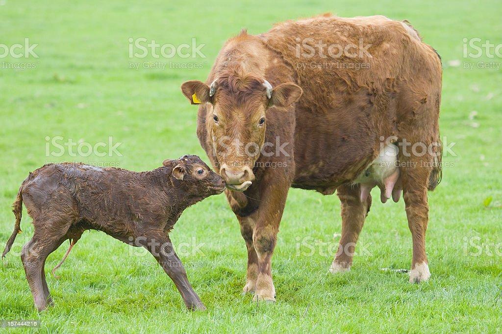 New Born Calf Series royalty-free stock photo
