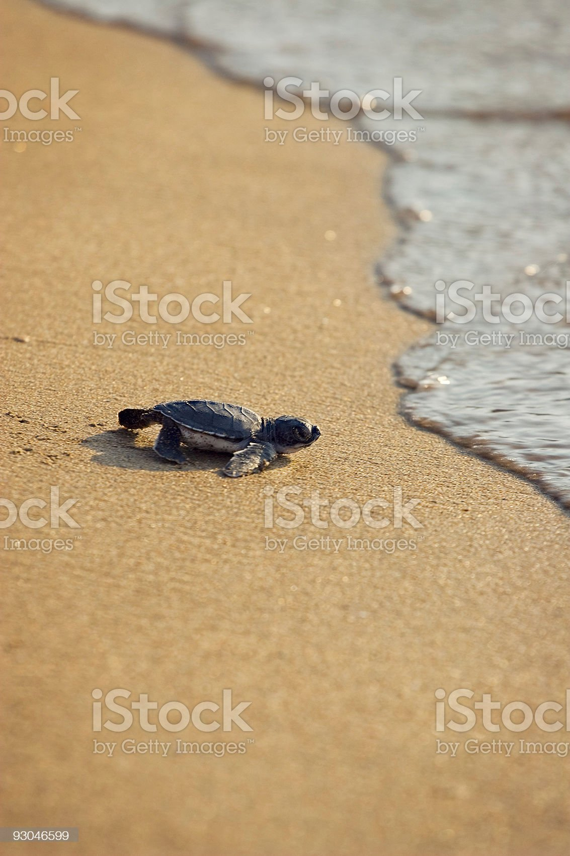 New born Caretta (loggerhead) sea turtle crawling on golden sands royalty-free stock photo