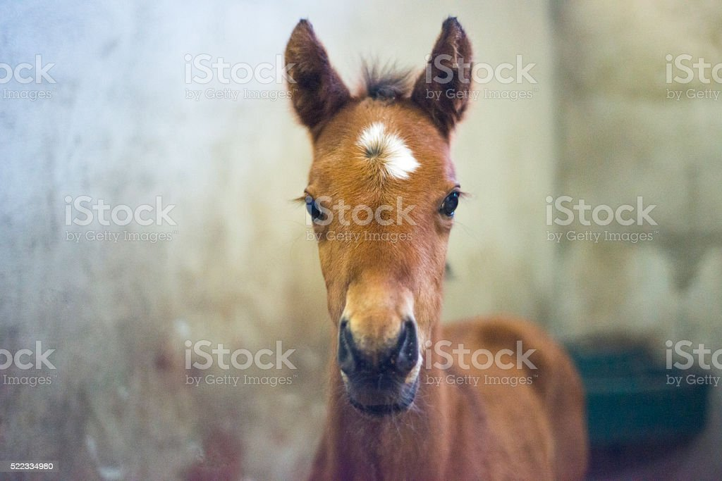 New born colt foal in stable stock photo