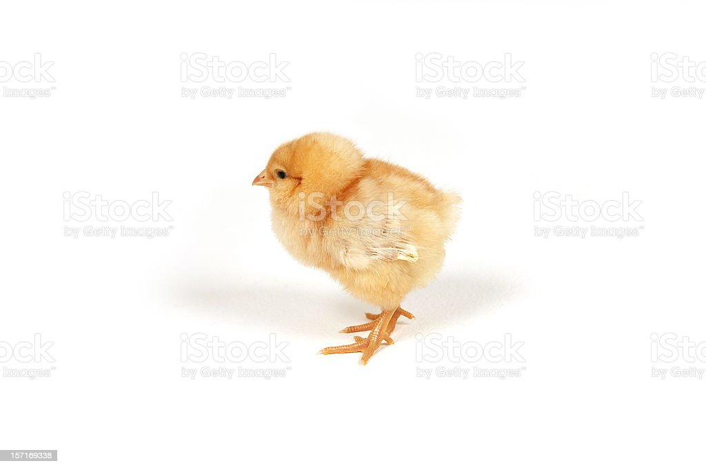 New Born Easter Chick royalty-free stock photo