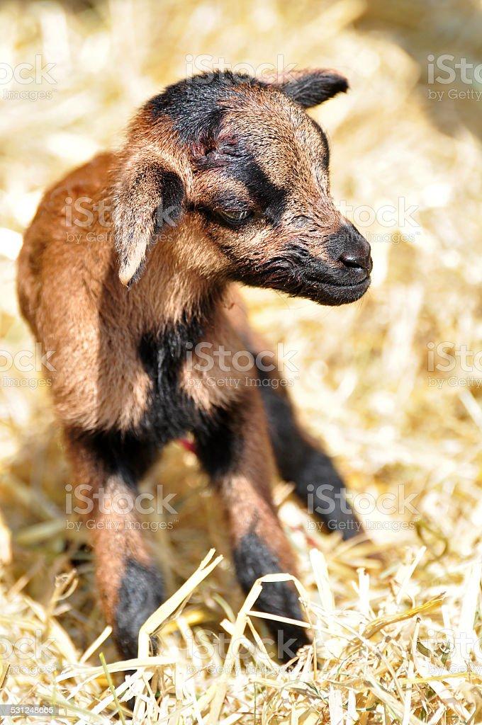 new born goat stock photo