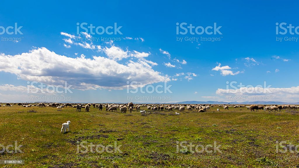 New Born Lamb and Sheep Spring stock photo
